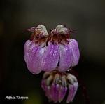 BulbophyllumCoroliferum