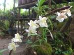 Dendrobium cinereum