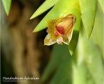 Dendrobium helvolum