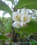 Dendrobium microglaphys