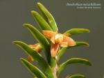 Dendrobium metachilinum