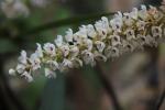 Eria multiflora