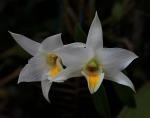 Dendrobium takahashii