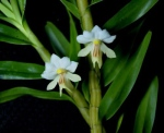 Dendrobium moquetteanum